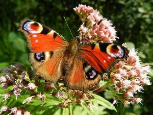 Butterfly Gardening @ Wickhambrook W.I. Hall